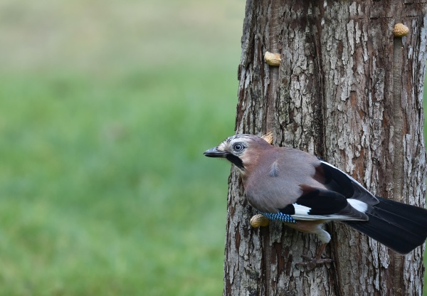 jay collects peanuts on a tree