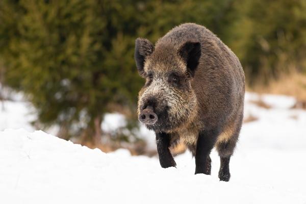 wild boar moving on snowy field