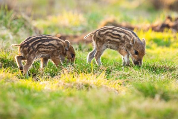little wild boar piglets grazing on