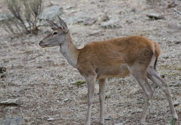 spanish red deer