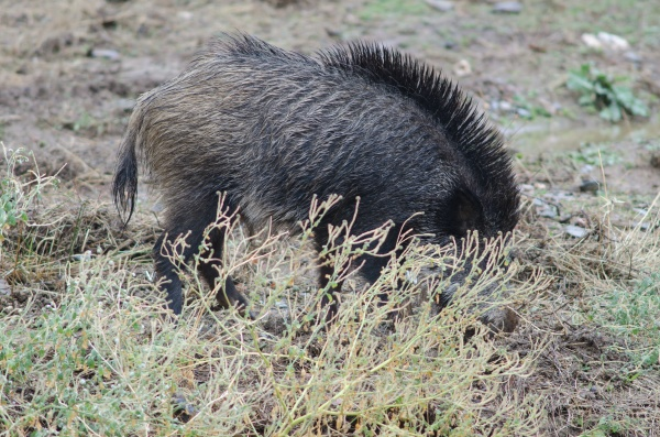 wild boar rooting in the earth