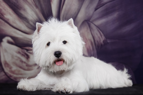 small white dog of the west