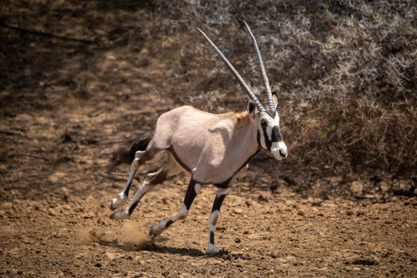 gemsbok gallops over stony ground past