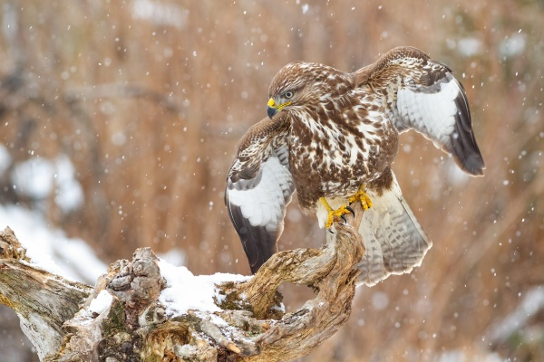 majestic common buzzard sitting on branch