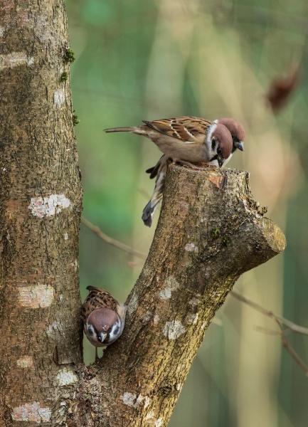 eurasian tree sparrow passer montanus in