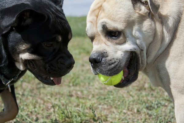 two cadebo dogs share a ball