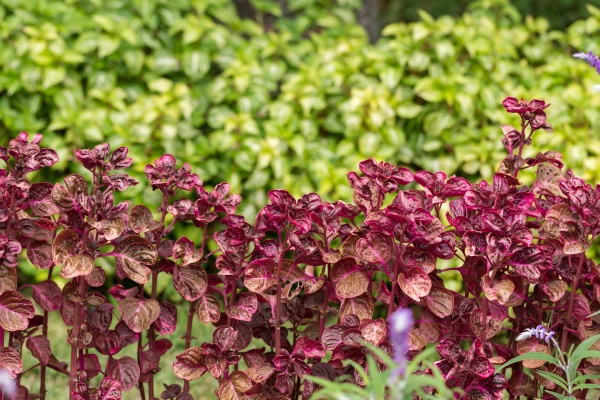 bright natural red leaves of coleus