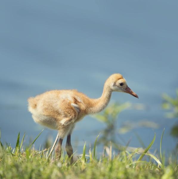sandhill crane chick in the grass