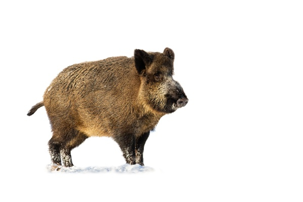 wild boar standing on snow isolated