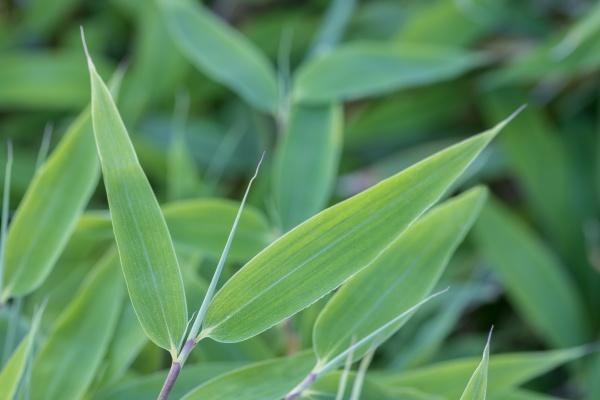 fargesia murielae bamboo detail close up