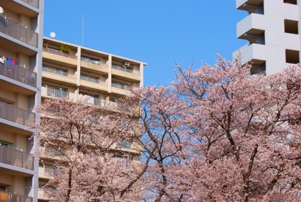 cherry tree in full bloom of