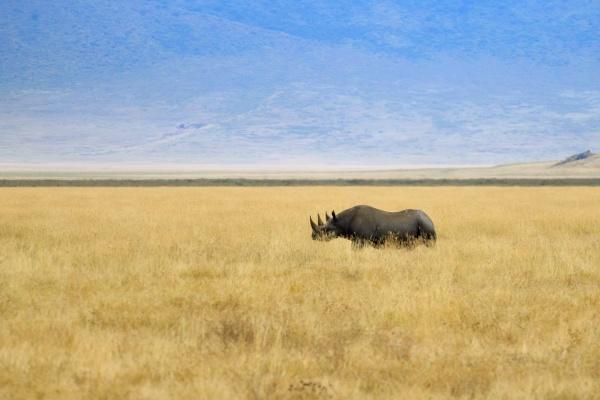 black rhinoceros on ngorongoro conservation area