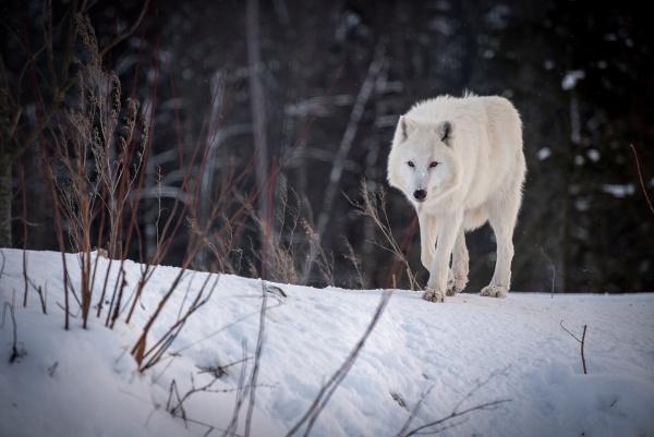 the arctic wolf canis lupus arctos