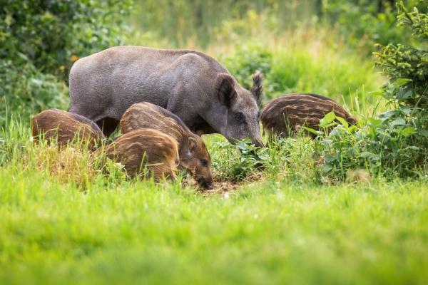 wild boar family grazing on grassland
