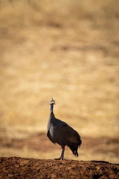 helmeted, guineafowl, on, earth, bank, turning - 29321002