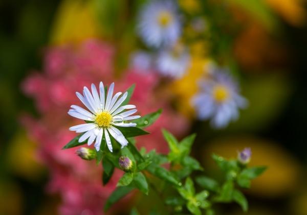 blue aster flower in the garden