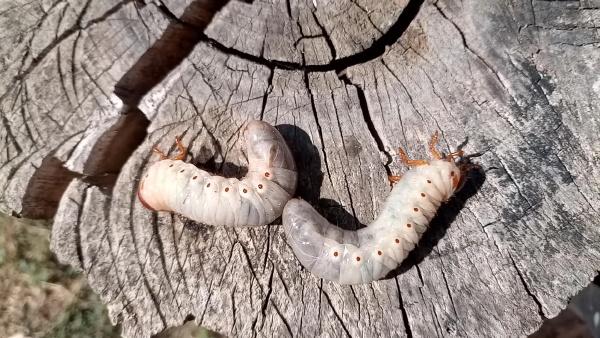 rhino beetle larvae on an old