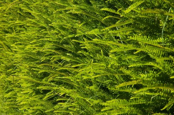 fishbone ferns nephrolepis cordifolia