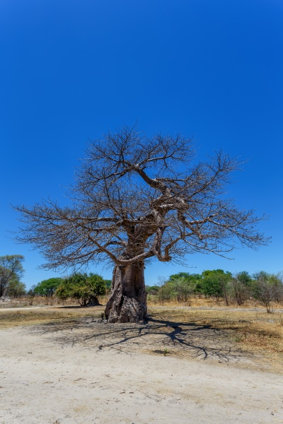 majestic baobab tree botswana
