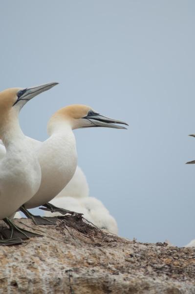 australasian gannets morus serrator