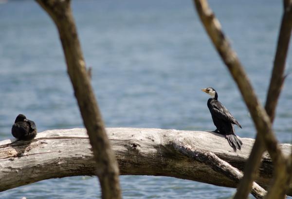 little pied cormorant melanoleucus brevirostris