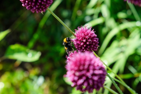 bees and bumblebees forage for honey