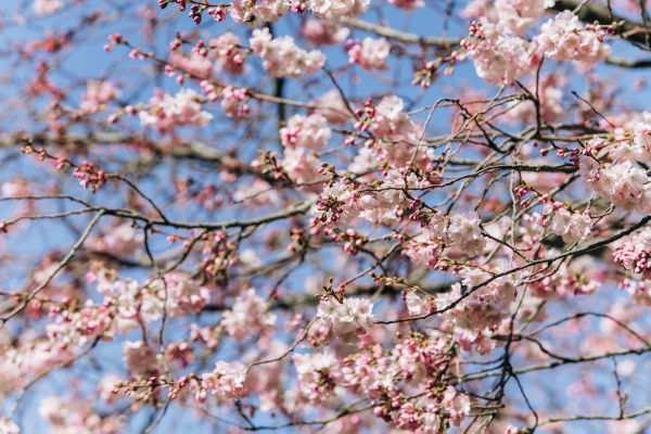 flowering branches of cherry blossoms against