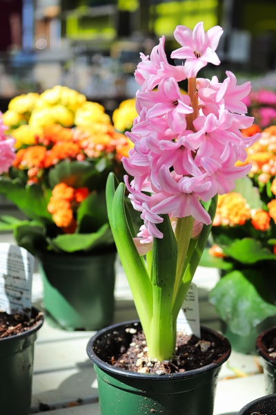 a pink hyacinth in a pot