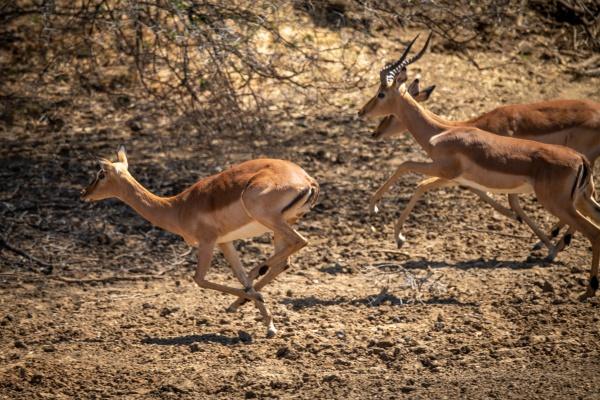 male and female common impala gallop