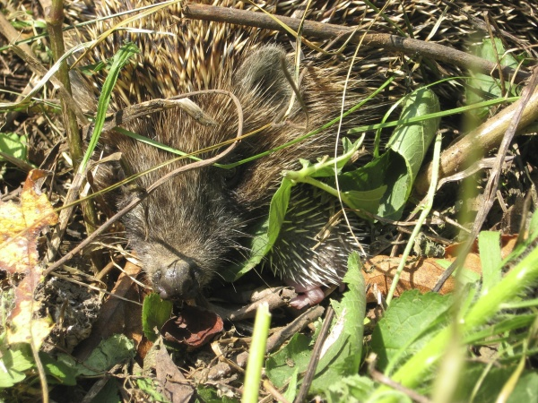 hedgehog the prickly mammal is a