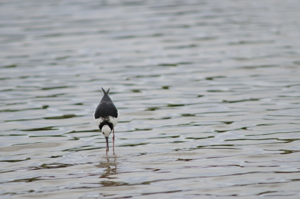 pied stilt catching a tunnelling mud