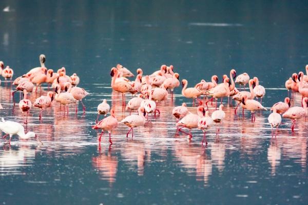 pink flamingos flock nakuru lake