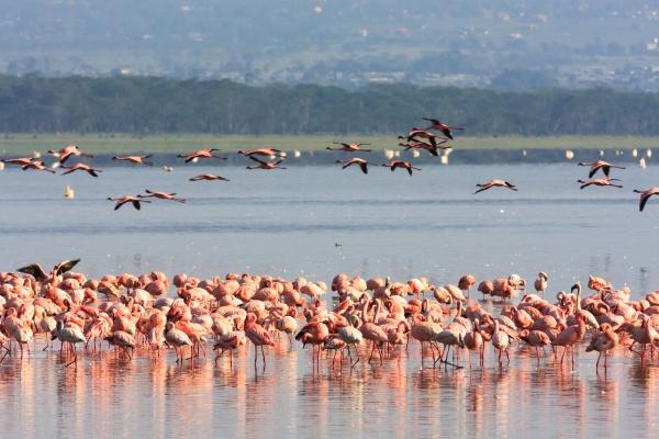 pink flamingos flock in nakuru lake