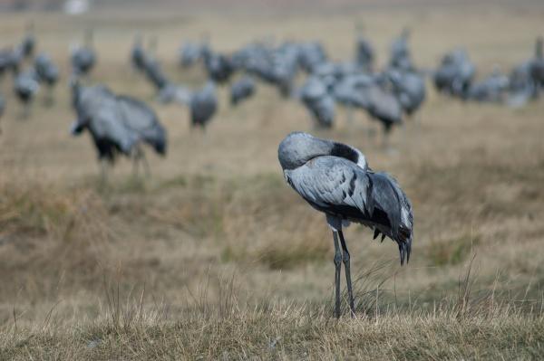 common crane grus grus preening its