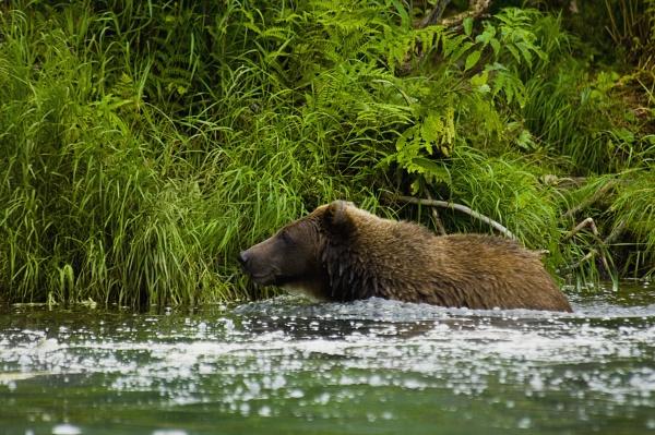 grizzly bear ursus arctos horribilis in