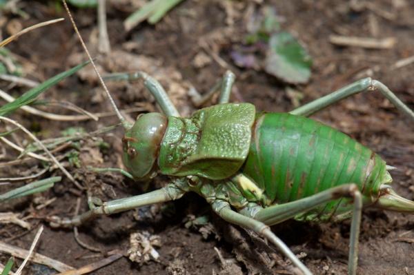 grasshopper in the ordesa and monte