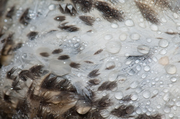 detail of a song thrush turdus