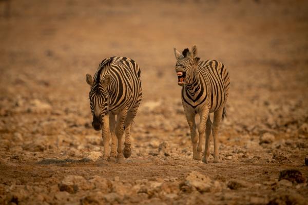 plains zebra barks beside another among