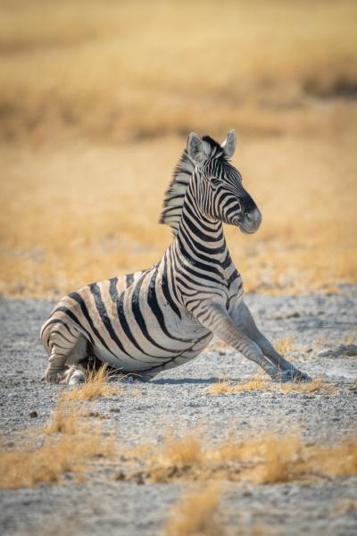 plains zebra lies stretching on salt