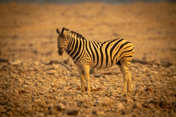 plains zebra stands among rocks turning