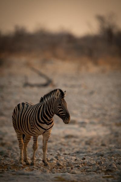 plains zebra stands on rocky salt