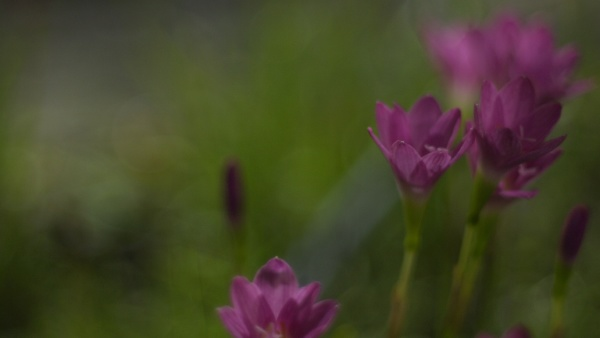 selective focus of pink zephyranthes lily