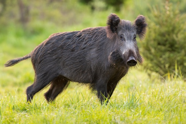 wild boar standing on green pasture