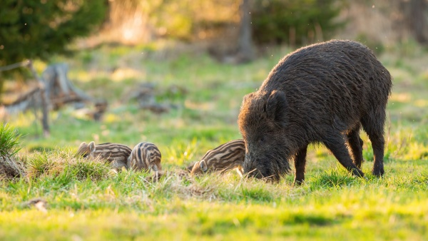 wild boar family feeding on pasture