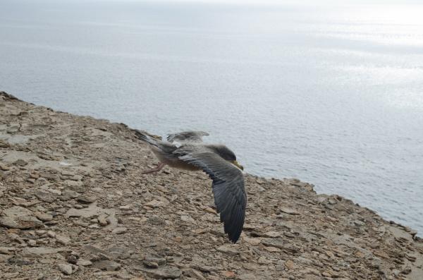 juvenile cory s shearwater calonectris borealis