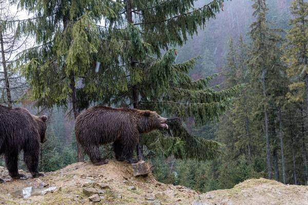 brown bear lat ursus arctos stainding