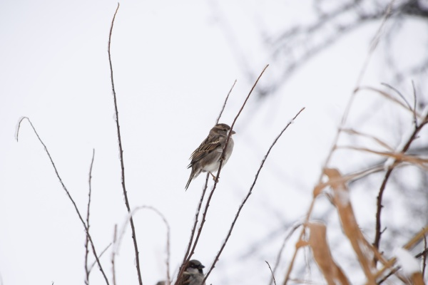sparrow on branches of bushes winter