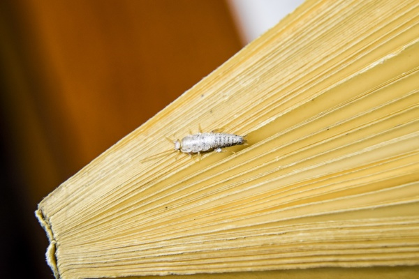 insect feeding on paper silverfish