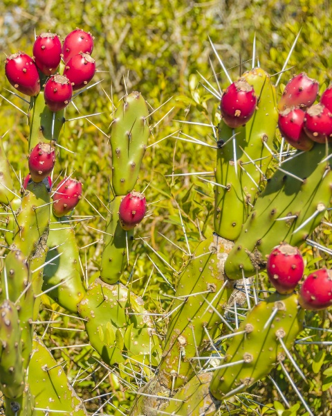 prickly pears with thorns
