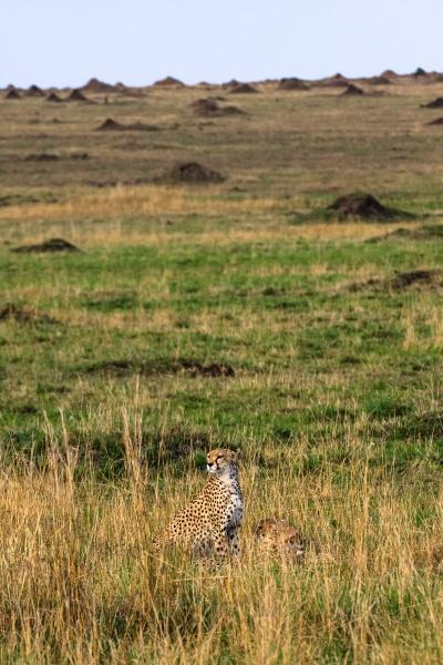 big cats of savanna kenya africa